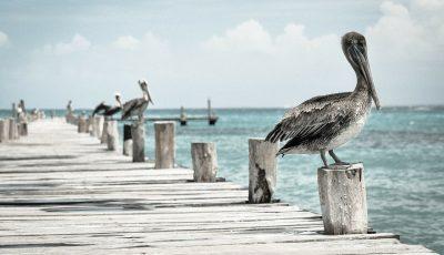 pelican-336583_1280